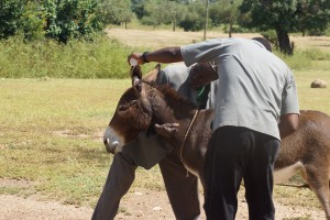 Ayamdooh removed a tumor from donkey's ear and is following up with owner